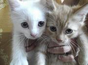 Продаются котята британцы,  коты