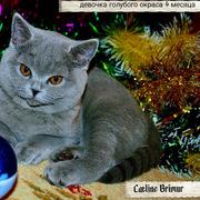 Британские котята голубого и лилового окраса