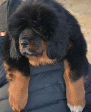 Тибетский Мастиф лучшая охрана