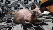 Продаются котята сфинкс